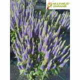 Rozrazil  - Veronica spicata ' Royal Candles '