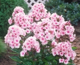 Flox ´Bright Eyes´- Phlox pan. ´Bright Eyes´