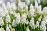 Modřenec ´White Magic´- Muscari´White Magic´