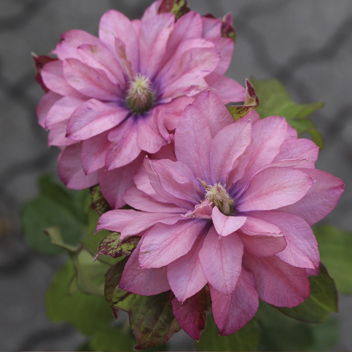 Klematis - Clematis ´PINK PASSION´ (kont. 2 litry)