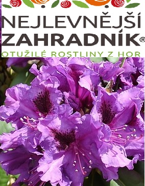 Pěnišník ´Purple Splendour´ - Rhododendron obt. ´Purple Splendour´ (kont. 2 litry)