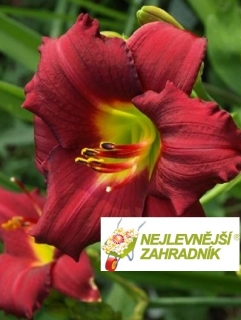 Denivka ´Pardon Me ´ - Hemerocallis ´Pardon Me ´
