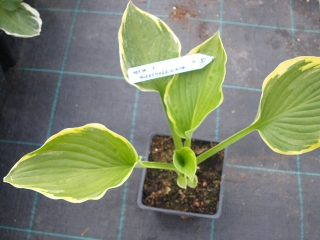 Hosta for. ' Aureomarginata ' - Bohyška