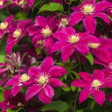 Klematis ´Sunset´- Clematis ´Sunset´