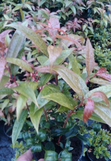 Leucothoe 'Royal Ruby' (kont. 1 litr)