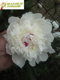 Pivoňka ' Shirley Temple '