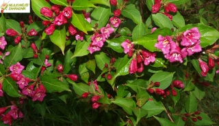Weigela florida 'New Port Red'- Vajgélie květnatá - červená