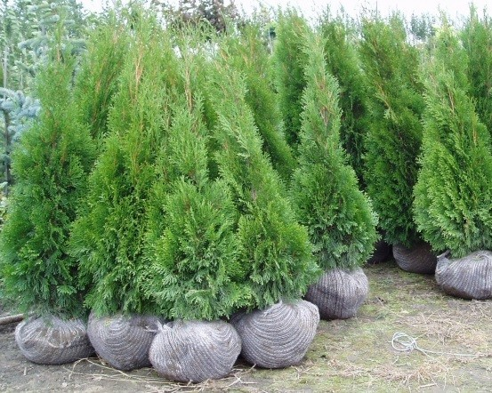 okrasn ke e d eviny vhodn na iv plot thuja smaragd 80 100 cm nejlevn j zahradn k. Black Bedroom Furniture Sets. Home Design Ideas