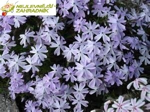 Plaménka - Phlox subulata 'EMERALD CUSHION BLUE' (kont. 9x9 cm)